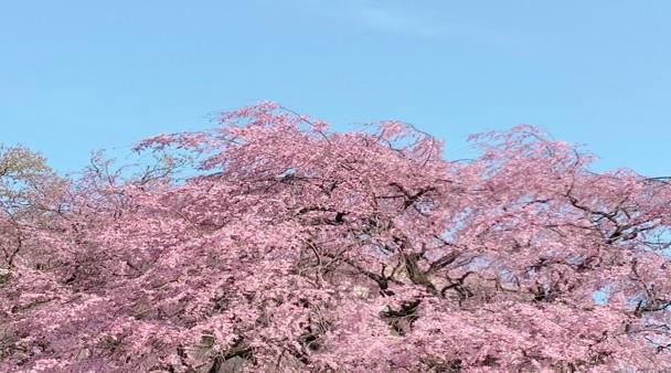 桜の写真3.jpg