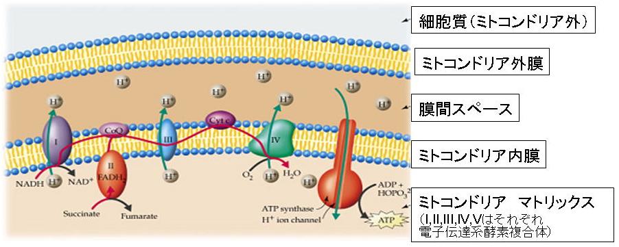 図1 細胞のエネルギー産生を担うミトコンドリアの... の電子伝達系酵素複合体模式図 [図を拡大